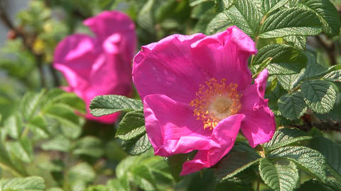 Rugosa rose Footage
