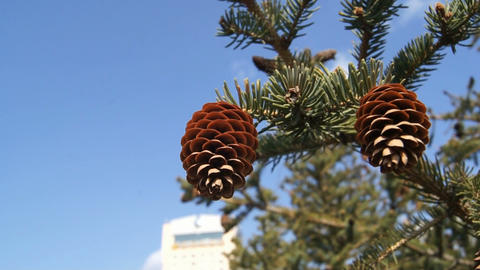 Two Fir-cones Against Blue Sky stock footage