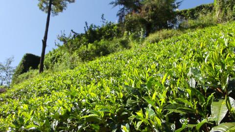 Tea plantation in Nuwara Eliya,Ceylon Stock Video Footage