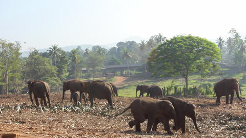 Group Of Elephants Footage