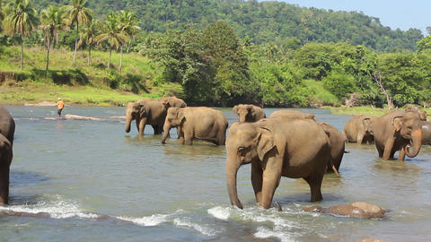 Elephants playing in the water Footage