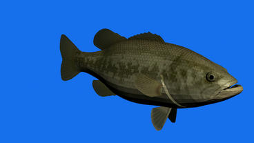 Moving of 3D fish.sea,ocean,water,animal,isolated,tropical,underwater,aquarium Animation