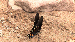 Butterfly on Rock Footage