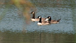 A rack-focus to and from ducks on a lake Stock Video Footage