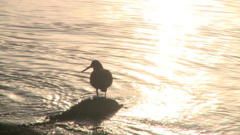 Oystercatcher seabird Stock Video Footage