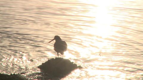 Oystercatcher seabird Footage