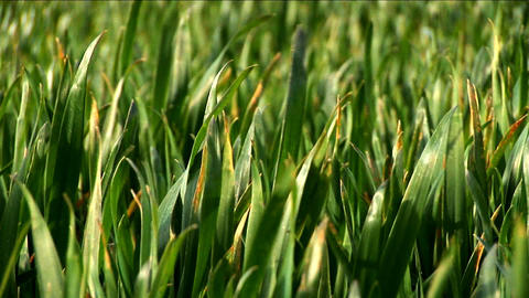Green grass fields with blades reflecting sunlight and... Stock Video Footage