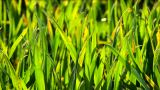 Green Grass Fields With Blades Reflecting Sunlight And Blowing In The Breeze stock footage