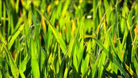 Green grass fields with blades reflecting sunlight and blowing in the breeze Footage