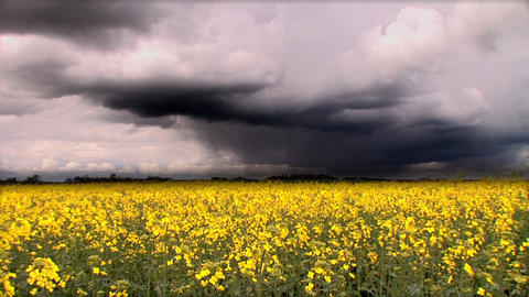 Biofuel crop with storm clouds Footage