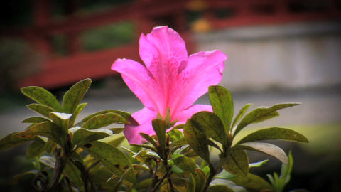 Delicate purple flower used for therapeutic pleasure in... Stock Video Footage