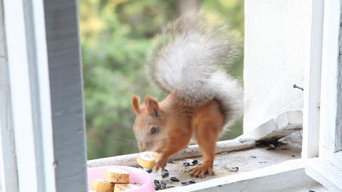 Squirrel eat nuts Footage