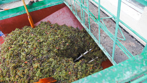 Conveyor and grape Stock Video Footage