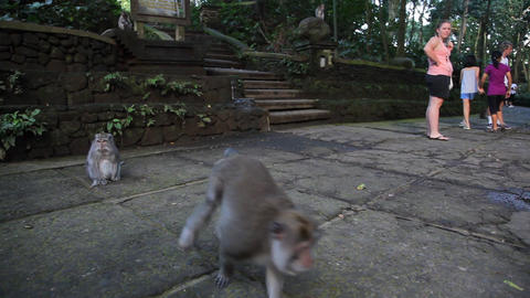 Monkeys forest in Ubud , Bali Stock Video Footage