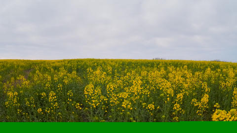 Field on which the plant flowers rapa-Brassicaceae Stock Video Footage