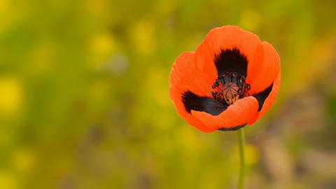 Blooming wild poppy macro Footage