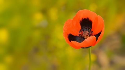 Blooming wild poppy macro Footage