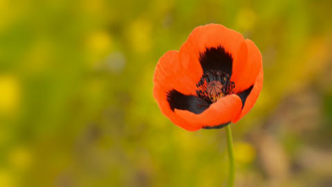 Blooming wild poppy macro Stock Video Footage