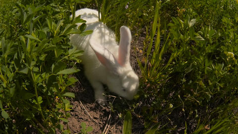 rabbit runs across the field and eating grass Stock Video Footage