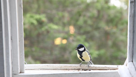 Small tit on a open window Footage