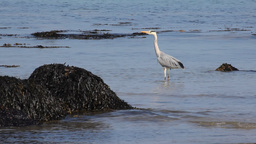 Gray Heron 2 Footage