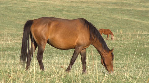 Grazing Mare HD Stock Video Footage