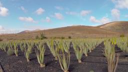 Aloe Vera stock footage
