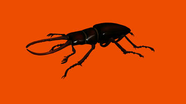 Black beetle.bug,insect,nature,closeup Stock Video Footage