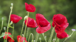Red poppies in a field Stock Video Footage
