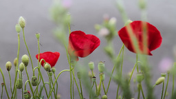 Red poppy flowers against gray background Stock Video Footage