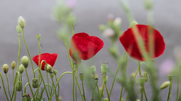 Red poppy flowers against gray background Footage
