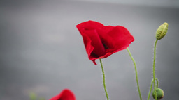 Red poppy flower against gray background Stock Video Footage