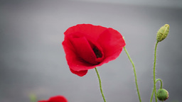 Red poppy flower against gray background Footage