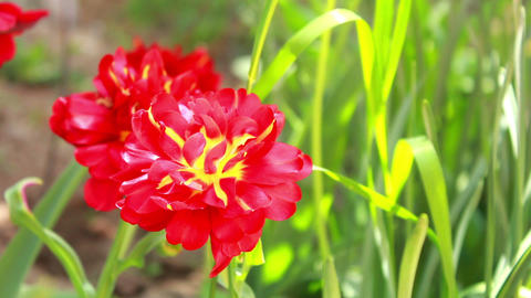 Red Flower 3 Stock Video Footage
