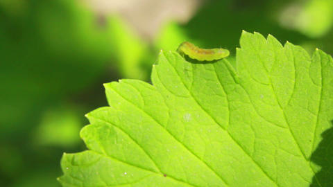 Worm on Leaves 3 Stock Video Footage