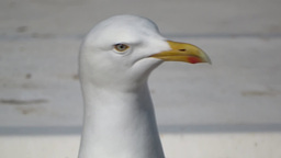 Herring Gull   stock footage
