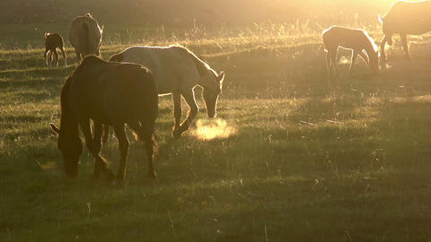 Horses in the early morning HD Stock Video Footage