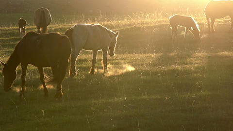Horses in the early morning HD Footage