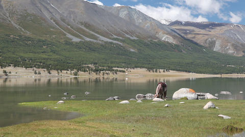 Horse eat grass at mountain lake Khoton Nuur in Mongolian Altai Footage