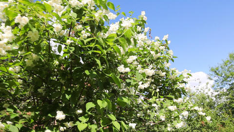 White jasmine Stock Video Footage