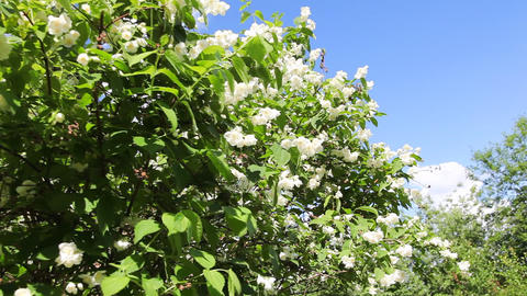 White jasmine Stock Video Footage