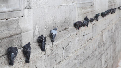 Pigeons on the wall Stock Video Footage