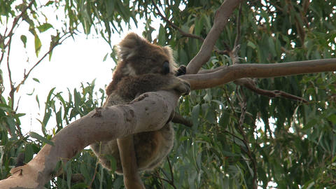 Itchy Koala Stock Video Footage