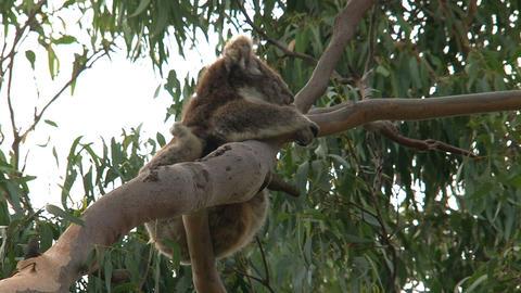 Itchy Koala Stock Video Footage