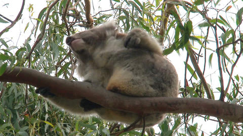 koala in a tree Stock Video Footage