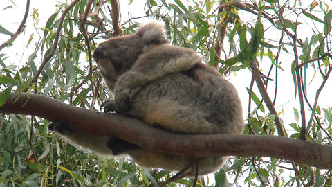 koala in a tree Stock Video Footage