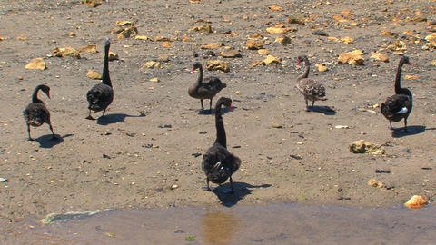 Black swans walking together Stock Video Footage