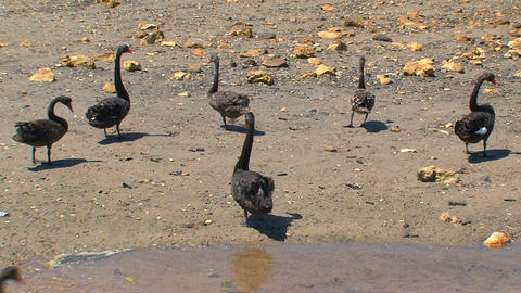 Black swans walking together Footage