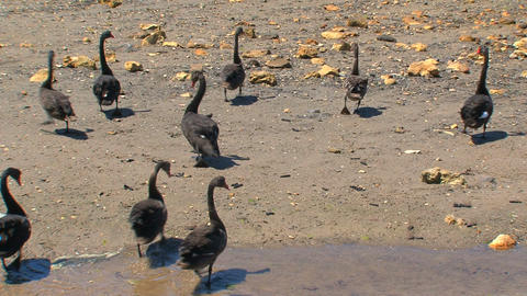 Black swans walking together Stock Video Footage