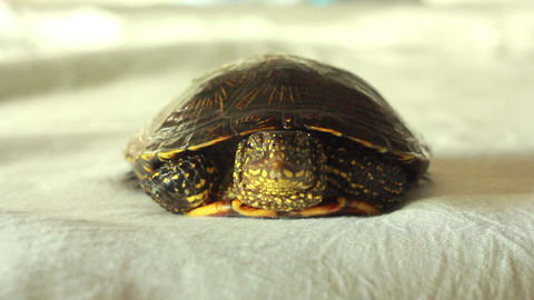 Turtle 1 Stock Video Footage